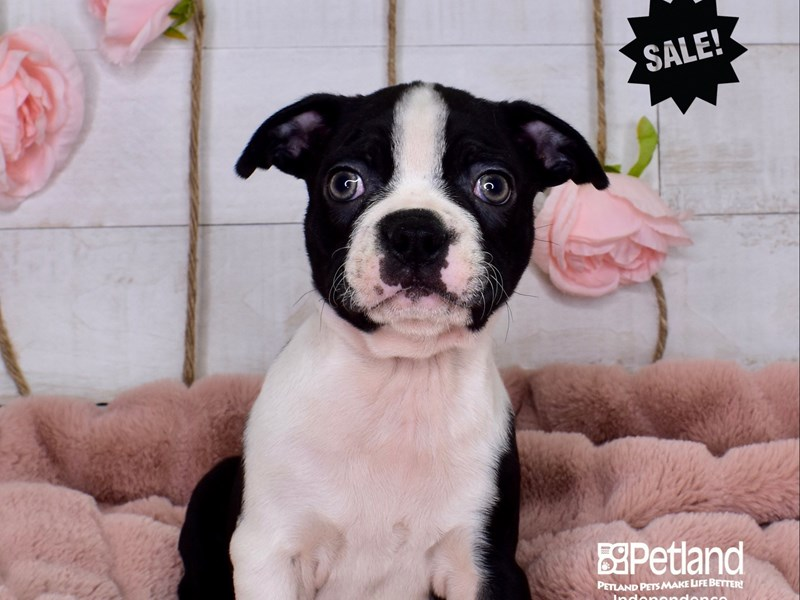 Boston Terrier-Male-Black and White-2984828-Petland Independence, MO