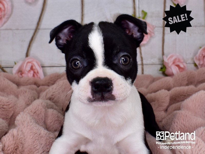 Boston Terrier-Female-Black and White-2984830-Petland Independence, MO