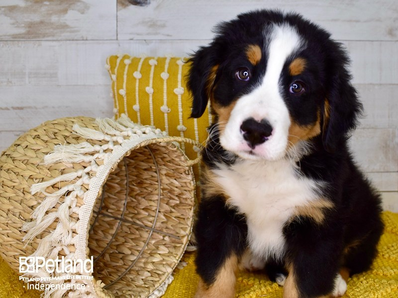 Bernese Mountain Dog-Male-Black Rust and White-3041905-Petland Independence, MO
