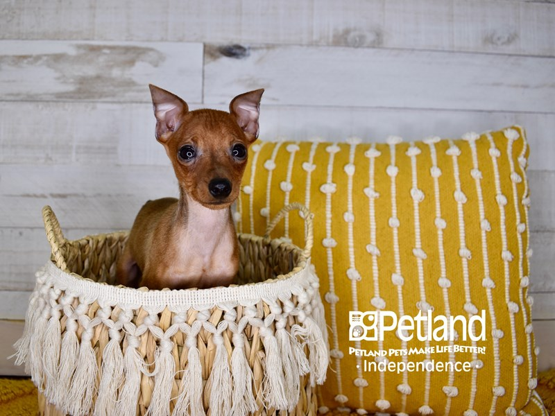 Miniature Pinscher-Male-Red-3065865-Petland Independence, MO