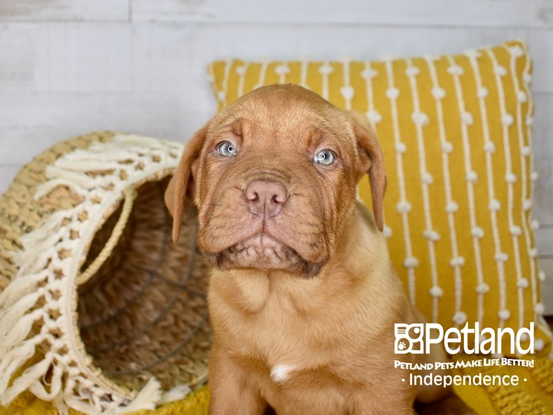 Dogue De Bordeaux-Male-Red-3072750-Petland Independence, MO
