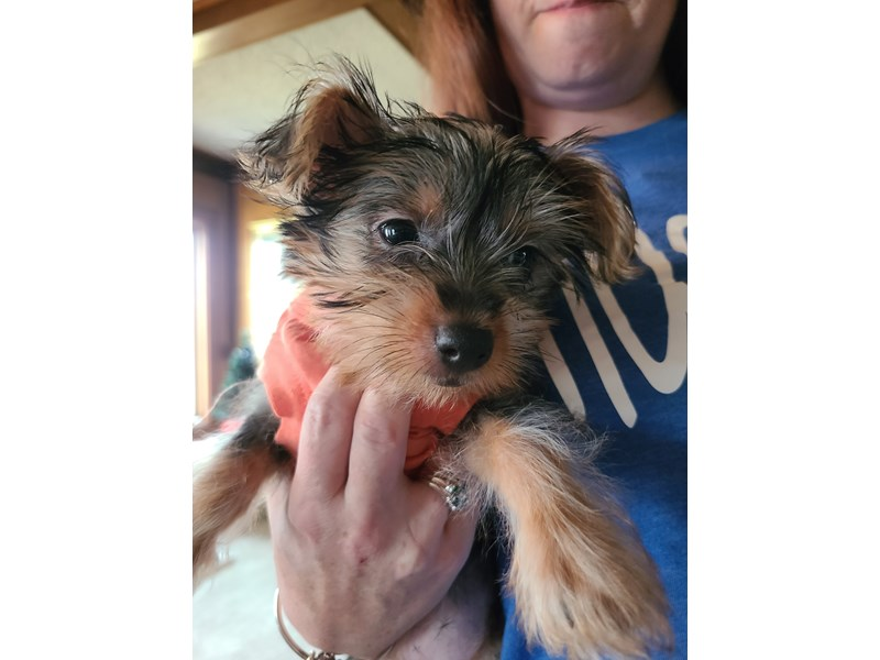 Silky Terrier-Female-Silver Black and Tan-3078067-Petland Independence, MO