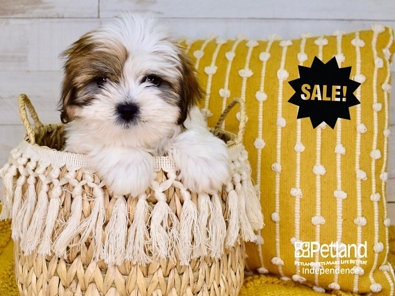 Lhasa Apso-Male-Red & Gold Parti-3017449-Petland Independence, MO