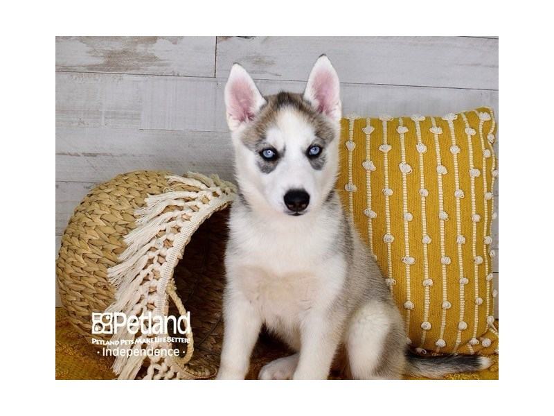 Siberian Husky-Female-Silver and White-3083800-Petland Independence, MO