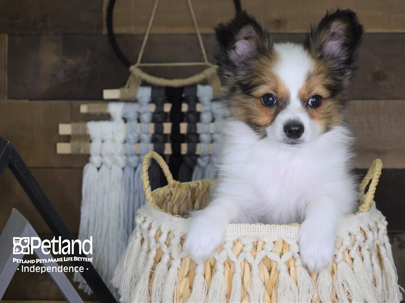 Papillon-Male-White and Sable-3107080-Petland Independence, MO