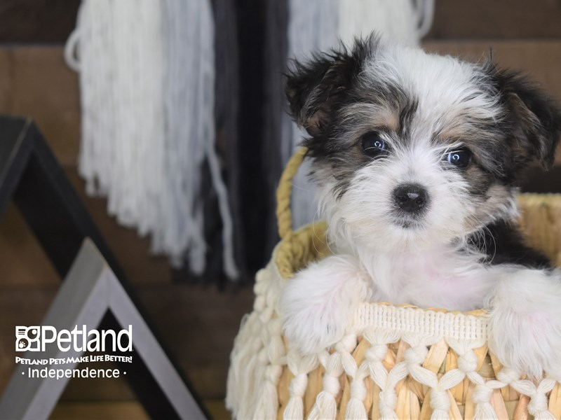 Morkie-Male-Black and White Parti-3139058-Petland Independence, MO