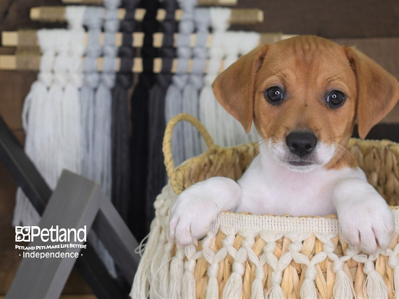 Jack Russell Terrier-Male-Tan and White-3148358-Petland Independence, MO