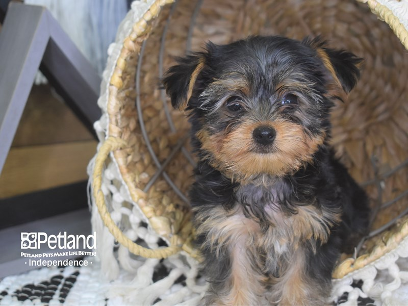 Yorkshire Terrier-Male-Black and Tan-3139130-Petland Independence, MO