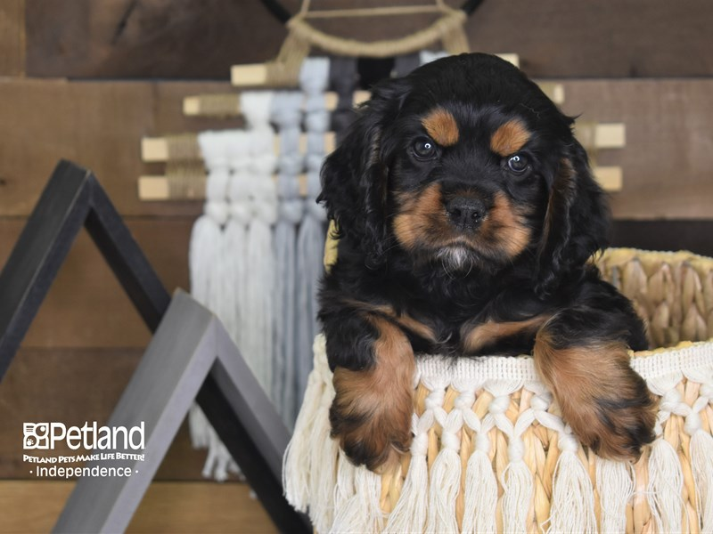 Cockalier-Female-Black and Tan-3128412-Petland Independence, MO