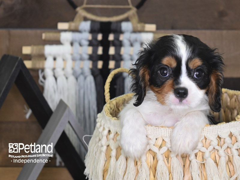 Cavalier King Charles Spaniel-Male-Black and Tan-3132912-Petland Independence, MO