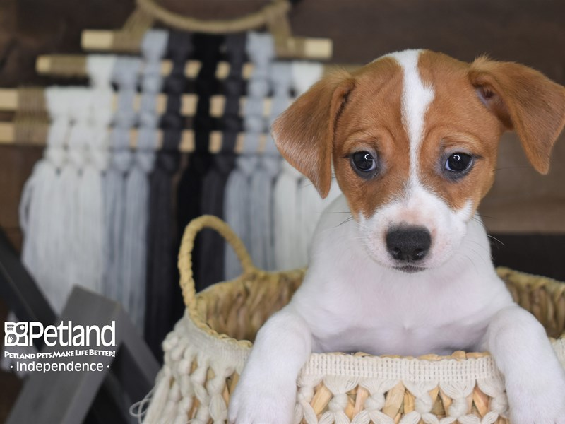 Jack Russell Terrier-Female-Tan and White-3148360-Petland Independence, MO