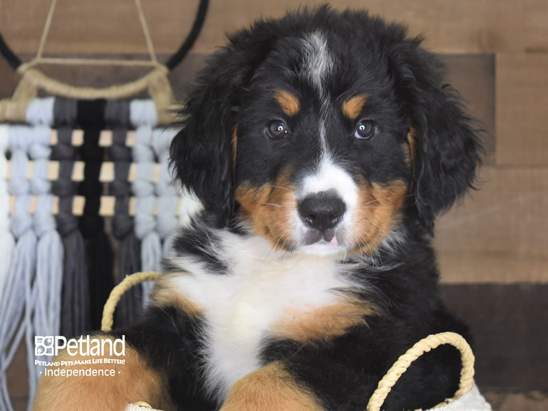 Bernese Mountain Dog-Male-Black and Rust-3153293-Petland Independence, MO