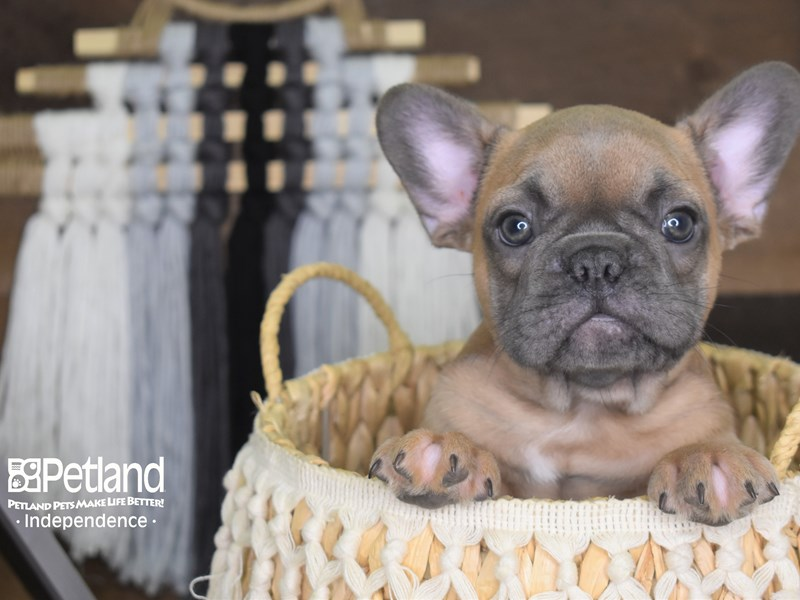 French Bulldog-Male-Blue Fawn-3164547-Petland Independence, MO