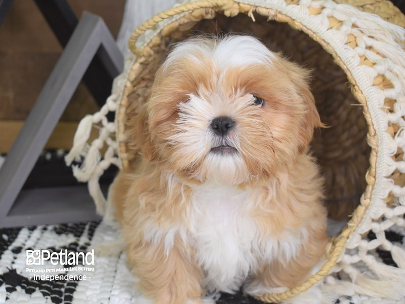 Shih Tzu-Male-Gold and White-3166554-Petland Independence, MO