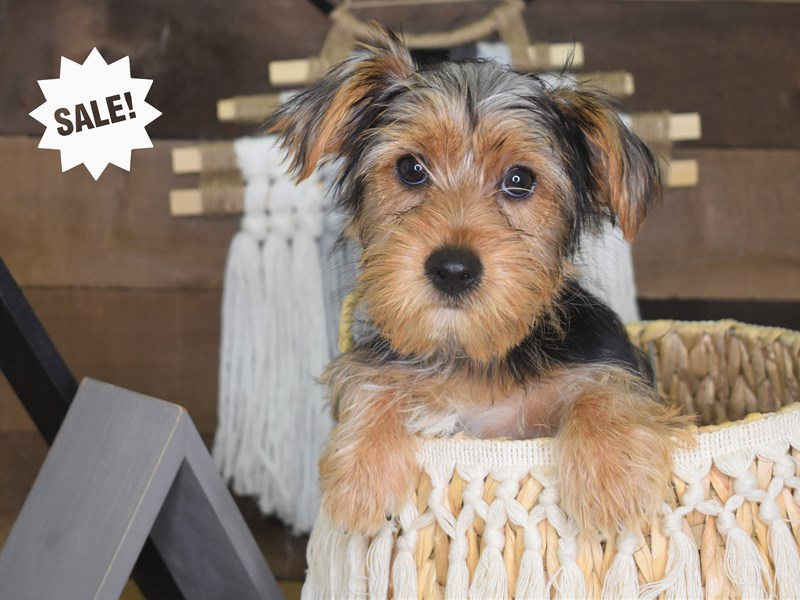 Yorkshire Terrier-Female-Black and Tan-3088604-Petland Independence, MO