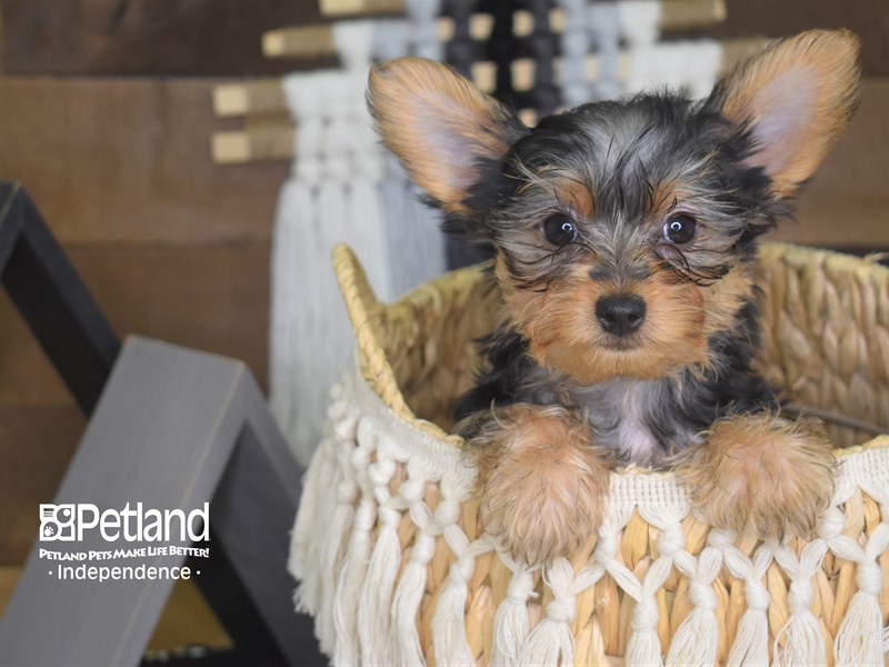 Yorkshire Terrier-Female-Black and Tan-3139148-Petland Independence, MO