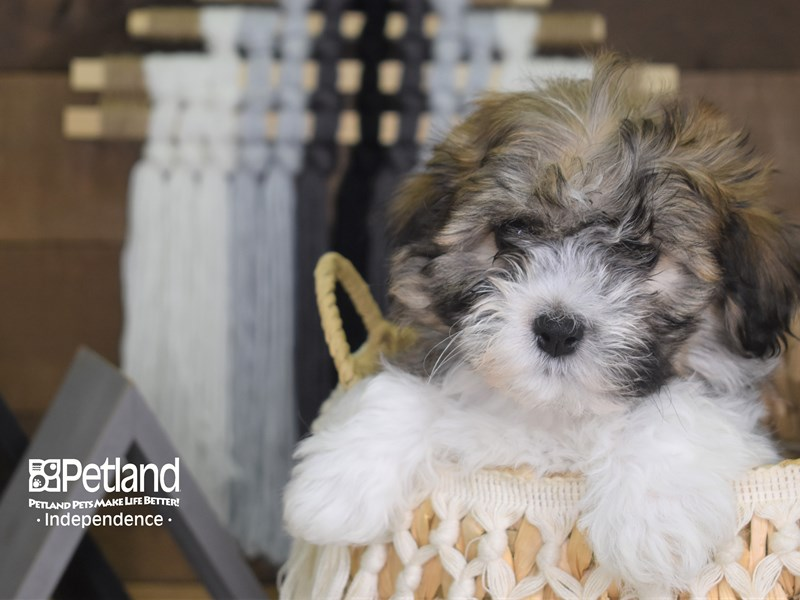 Teddy Bear-Male-Brown and White-3168566-Petland Independence, MO