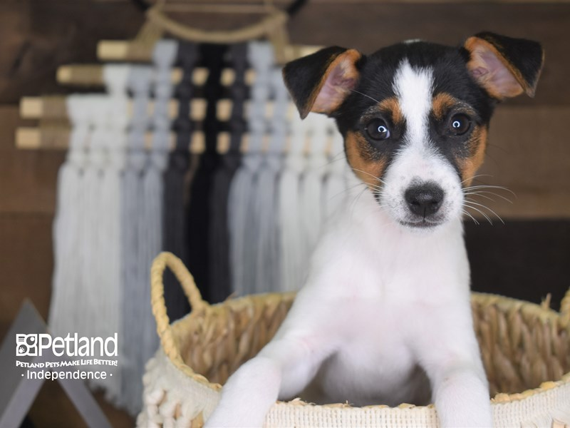 Jack Russell Terrier-Female-Black, tan, & white-3172452-Petland Independence, MO