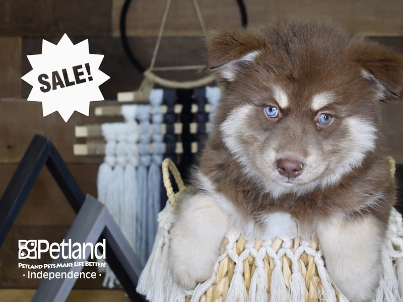 Pomsky-Male-Red and White-3128816-Petland Independence, MO
