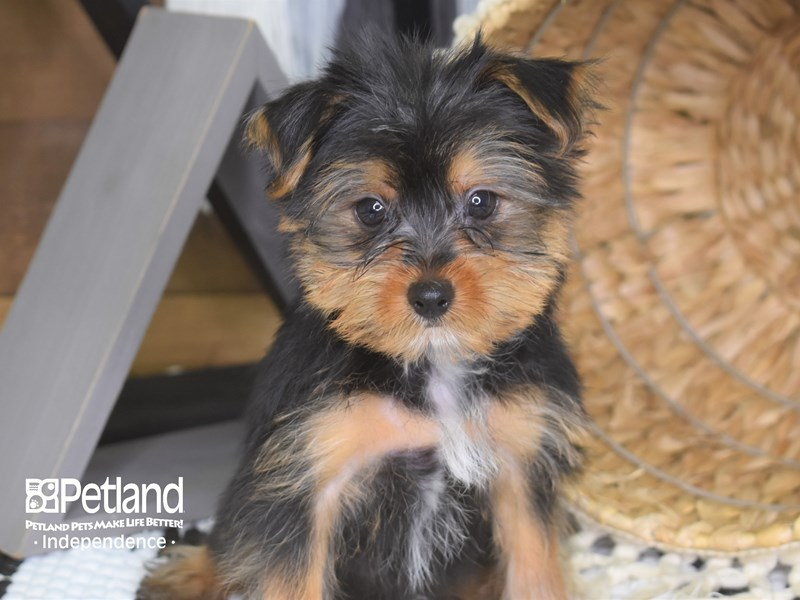 Yorkshire Terrier-Male-Black and Tan-3187291-Petland Independence, MO