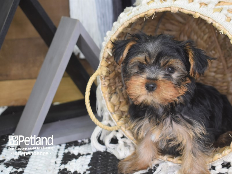 Yorkshire Terrier-Female-Black and Tan-3177859-Petland Independence, MO