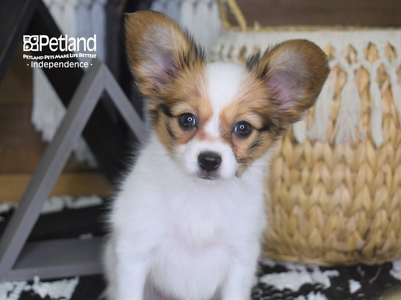 Papillon-Female-White and Red-3199926-Petland Independence, MO