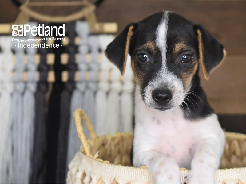 Jack Russell Terrier-Male--3205853-Petland Independence, MO