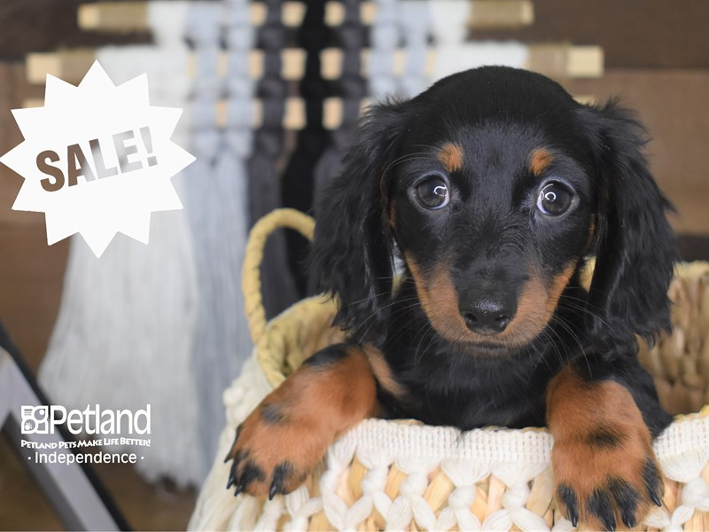Dachshund-Male-Black and Tan-3166596-Petland Independence, MO