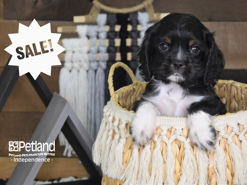 Cockalier-Male-Black and White-3128407-Petland Independence, MO