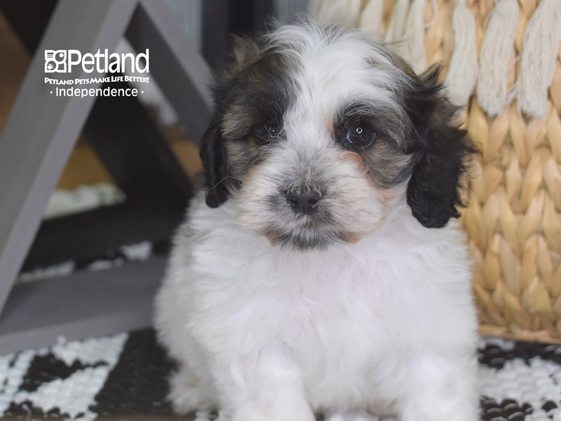 Cockapoo-Female-Sable and White-3206207-Petland Independence, MO