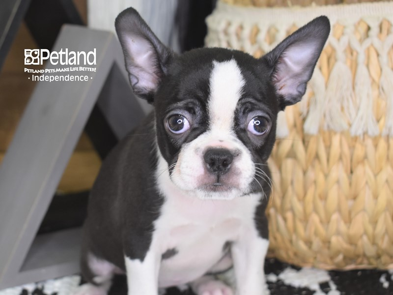 Boston Terrier-Female-Black and White-3209483-Petland Independence, MO