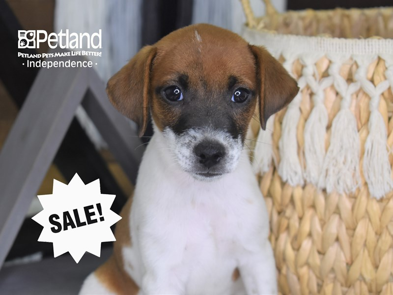 Jack Russell Terrier-Male-Brown & White-3205874-Petland Independence, MO