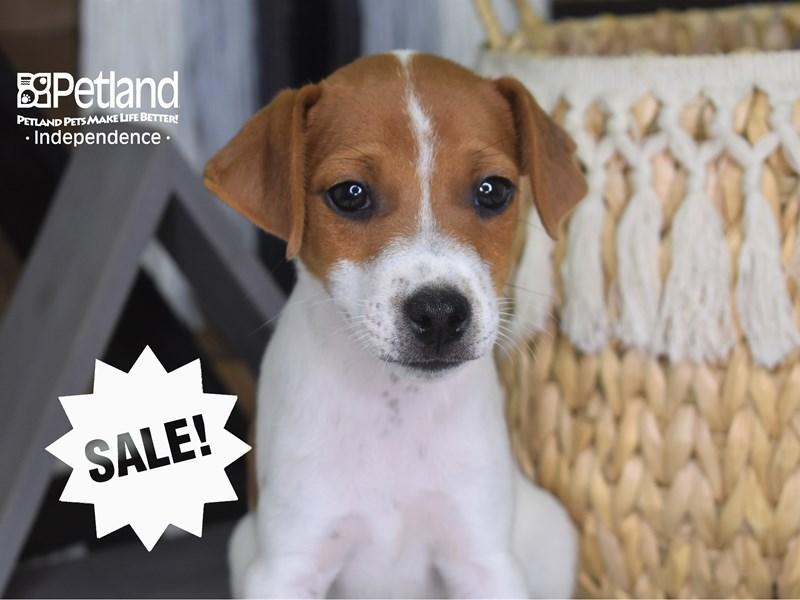 Jack Russell Terrier-Male--3205882-Petland Independence, MO