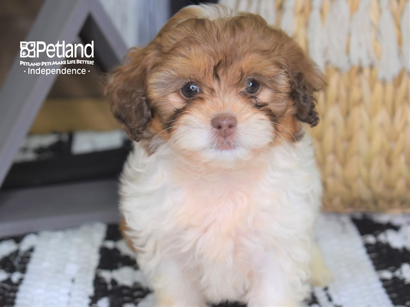 Shih Poo-Female-Red and White-3233832-Petland Independence, MO
