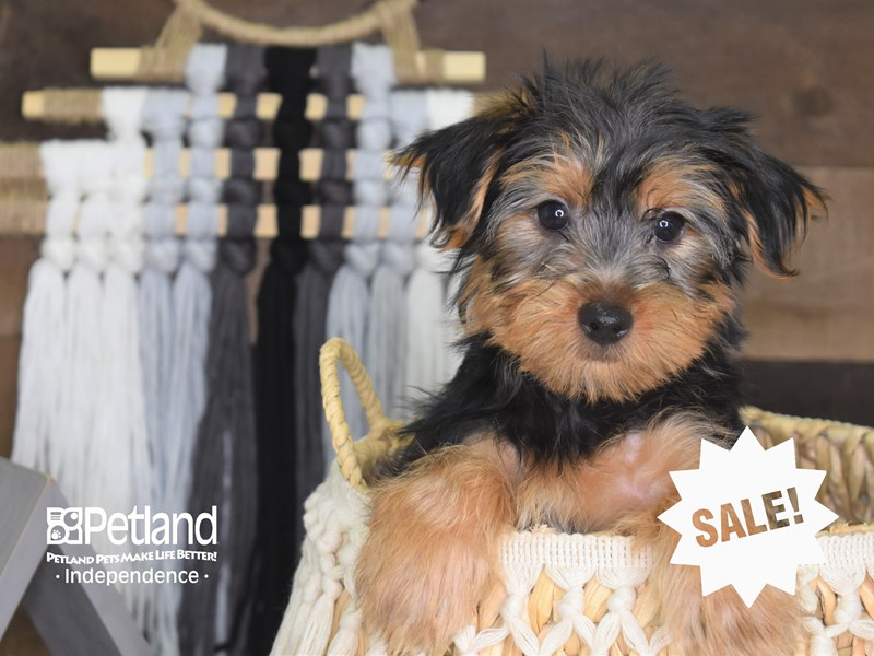 Yorkshire Terrier-Male-Black and Tan-3187286-Petland Independence, MO
