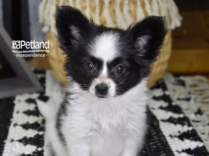 Papillon-Female-Black and White-3243294-Petland Independence, MO