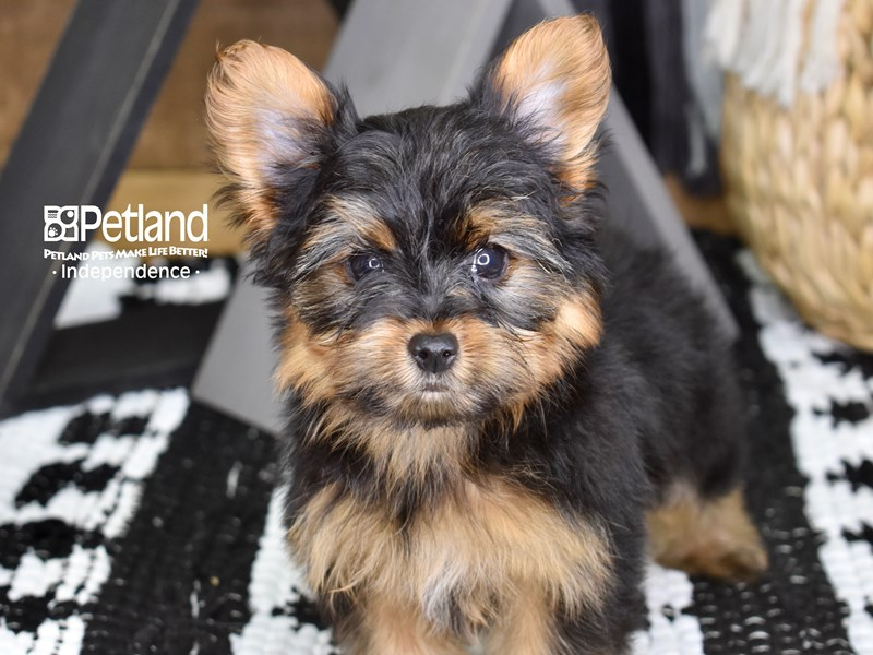 Yorkshire Terrier-Female-Black and Tan-3267385-Petland Independence, MO