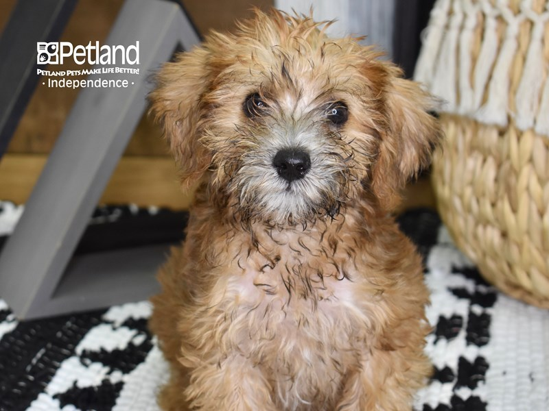 Schnoodle-Male-Sable-3257671-Petland Independence, MO