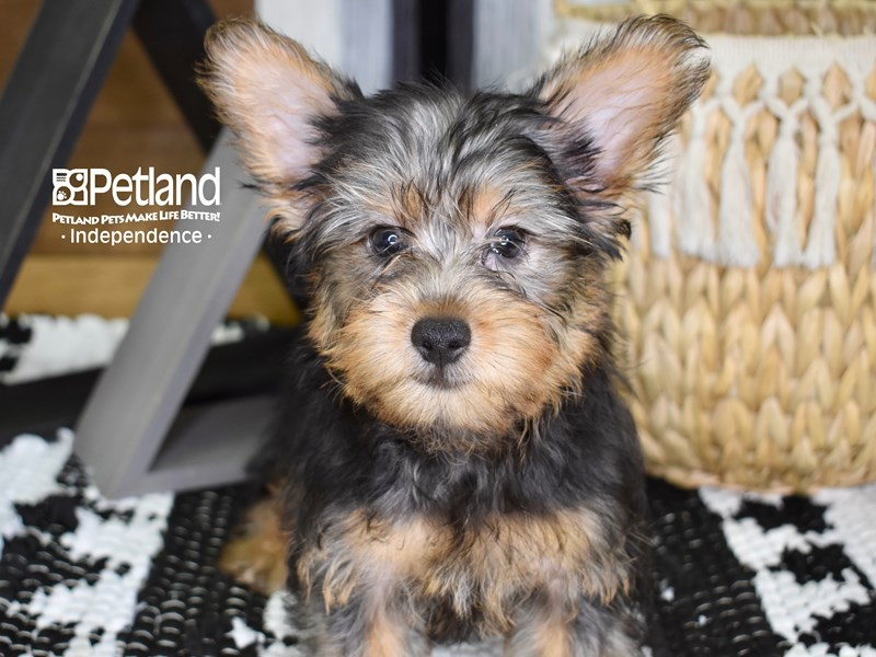 Silky Terrier-Male-Silver Black and Tan-3276472-Petland Independence, MO