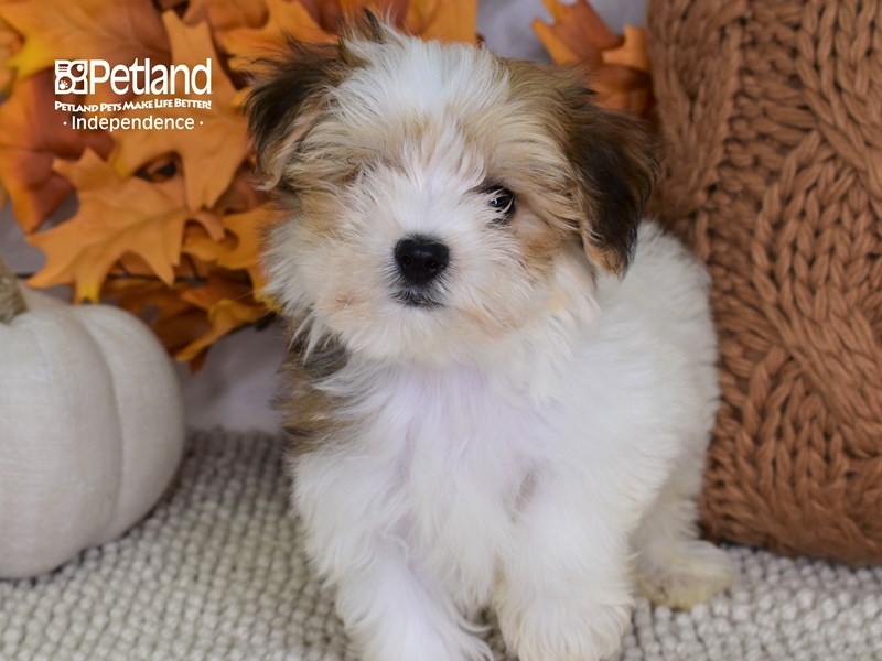 Morkie-Male-Red & White-3300197-Petland Independence, MO