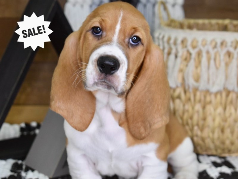 Basset Hound-Male-Red and White-3276514-Petland Independence, MO
